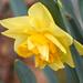 Ruffly Daffodil