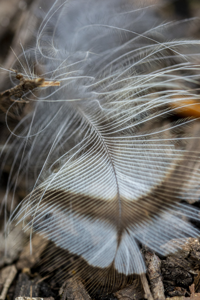 Delicate Feather by cwbill