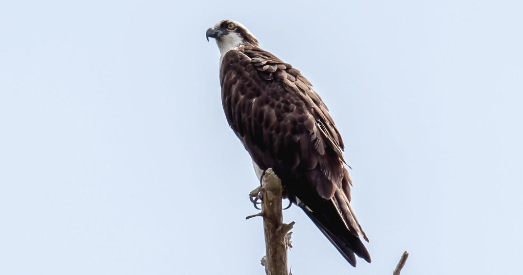 Osprey Back at It's Nesting Tree! by rickster549