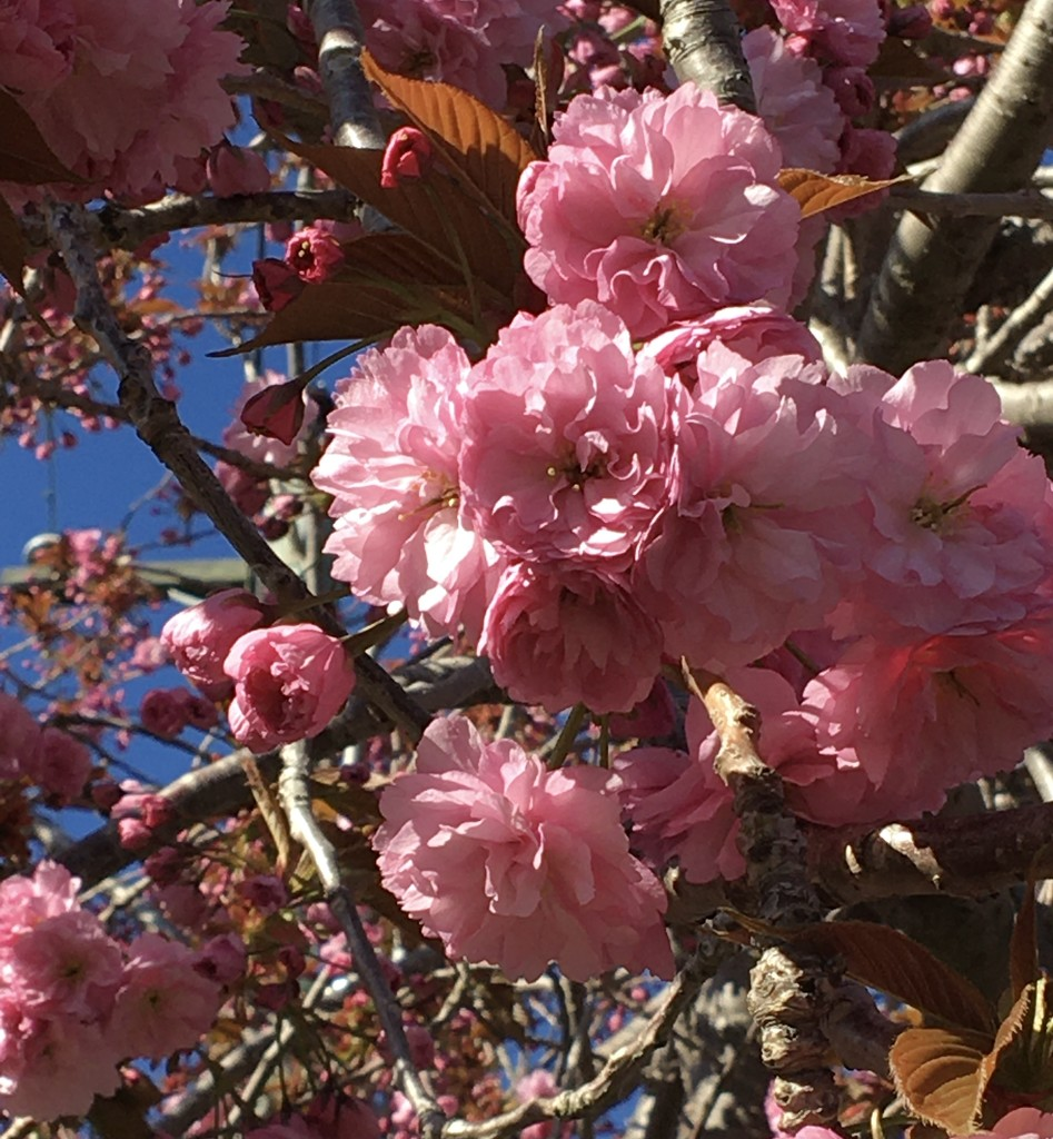 """The """"Floofy"""" Cherry Blossom is out now by debgasc"""