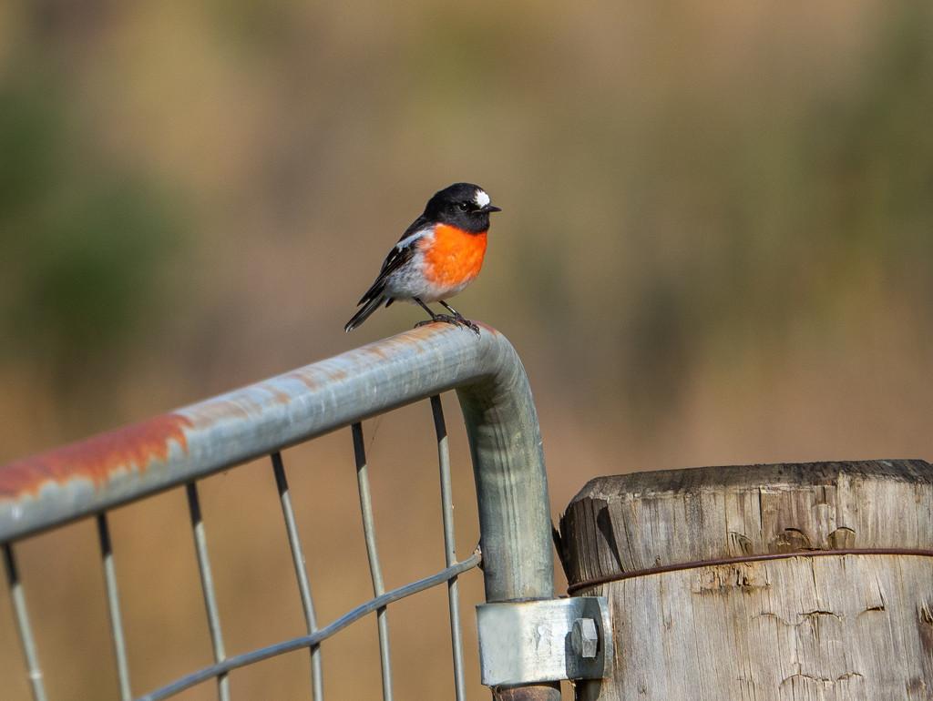 Robin by gosia