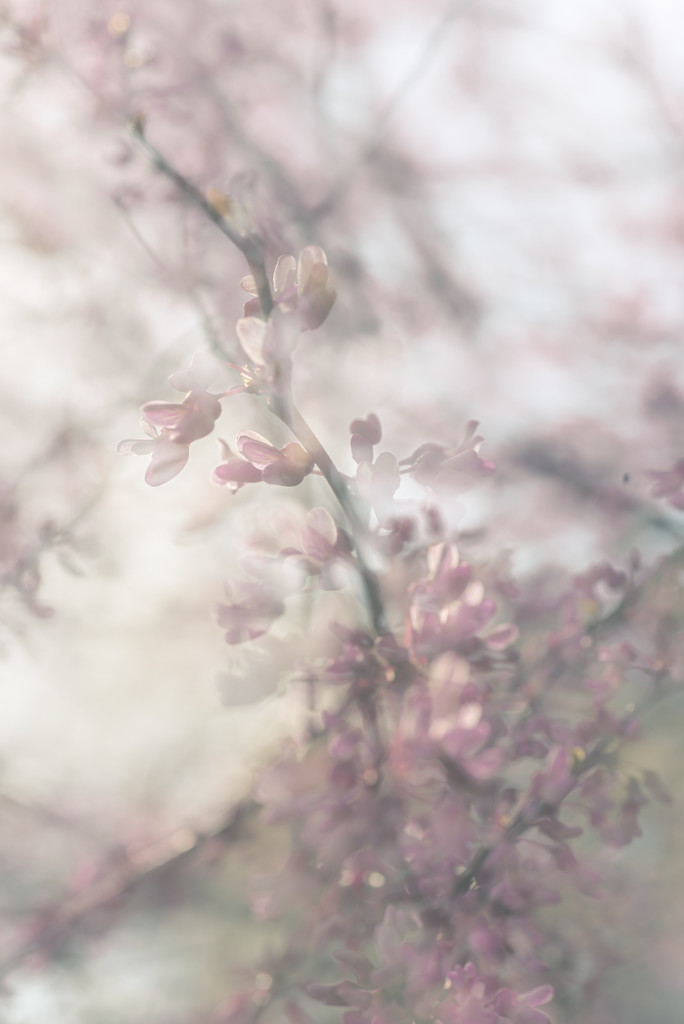 red bud double exposure by jackies365