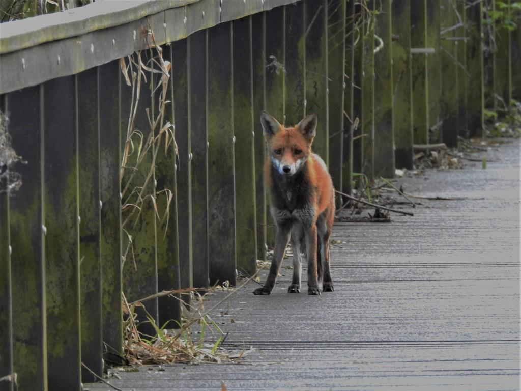 Fox by oldjosh