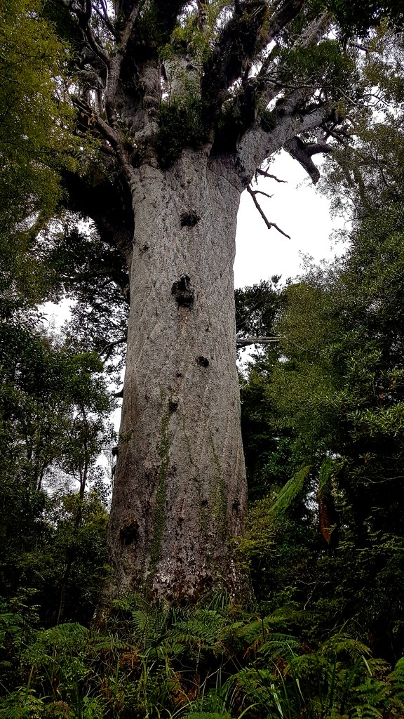 Tane Mahuta... Lord of The Forest.. by julzmaioro