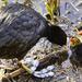 Feeding Chicks.