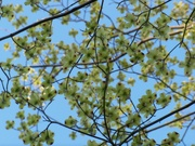 2nd Apr 2021 - Under the dogwood tree...
