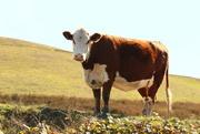 16th Apr 2021 - moo cow