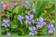 18th Apr 2021 - Wood Violets
