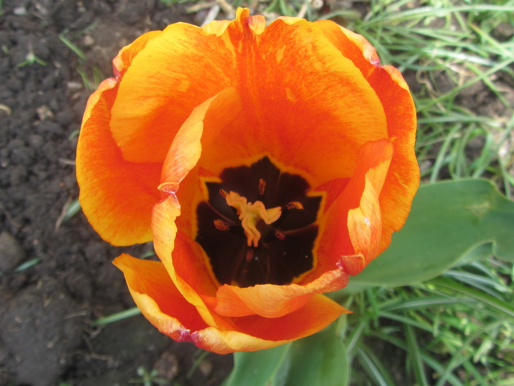 Red and yellow tulip. by grace55