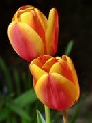 18th Apr 2021 - Tulips