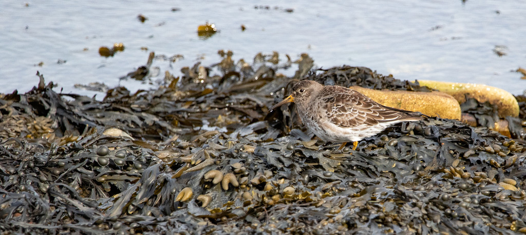 Purple Sandpiper by lifeat60degrees