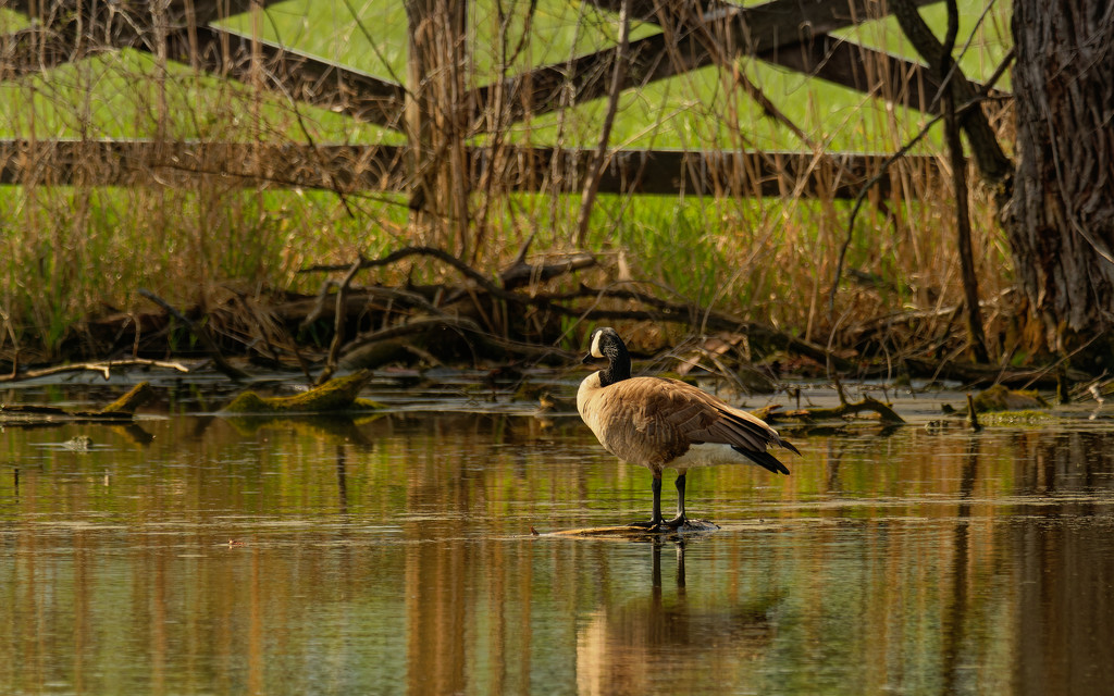 Canada goose by a fence by rminer