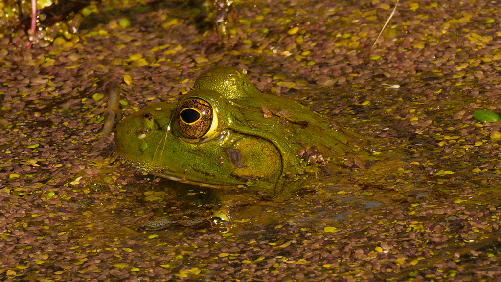 frog  by rminer