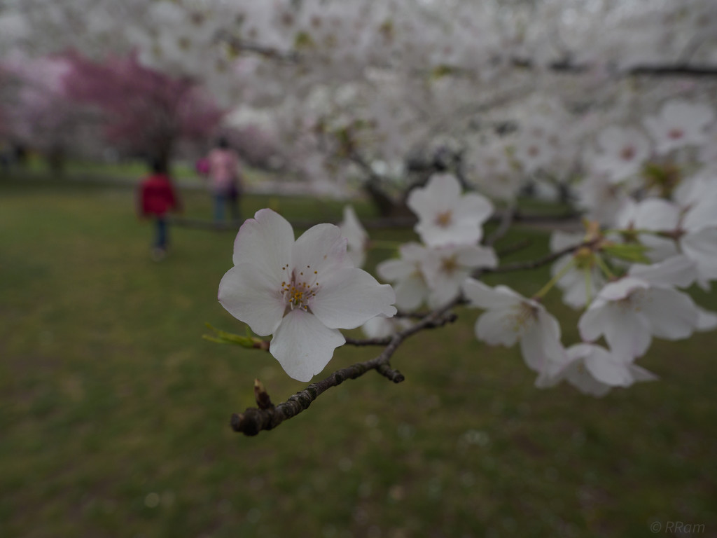 More Cherry Blossom by ramr