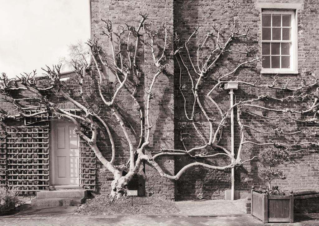 Fig tree by rumpelstiltskin