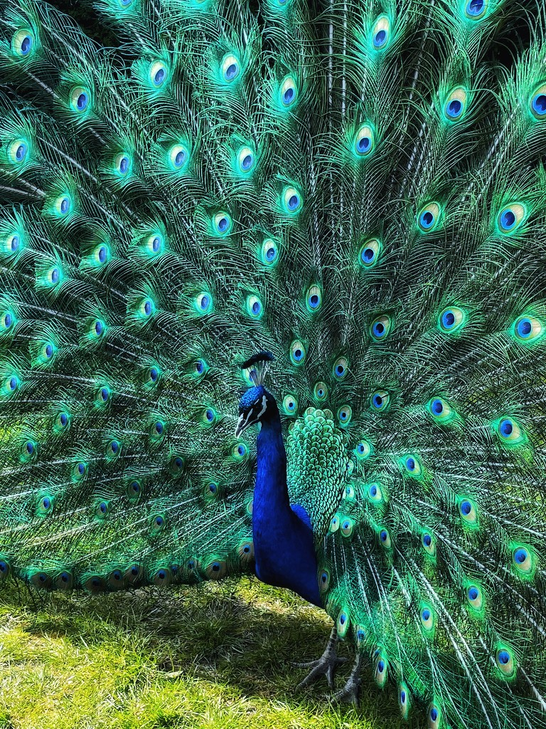Peacock by denful