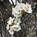Bradford Pear blossoms by mjmaven