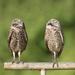 Mr & Mrs. Owl