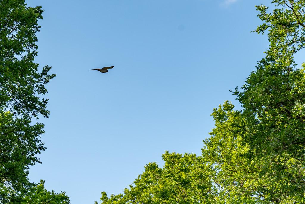 Hawk in Flight by johnnychops