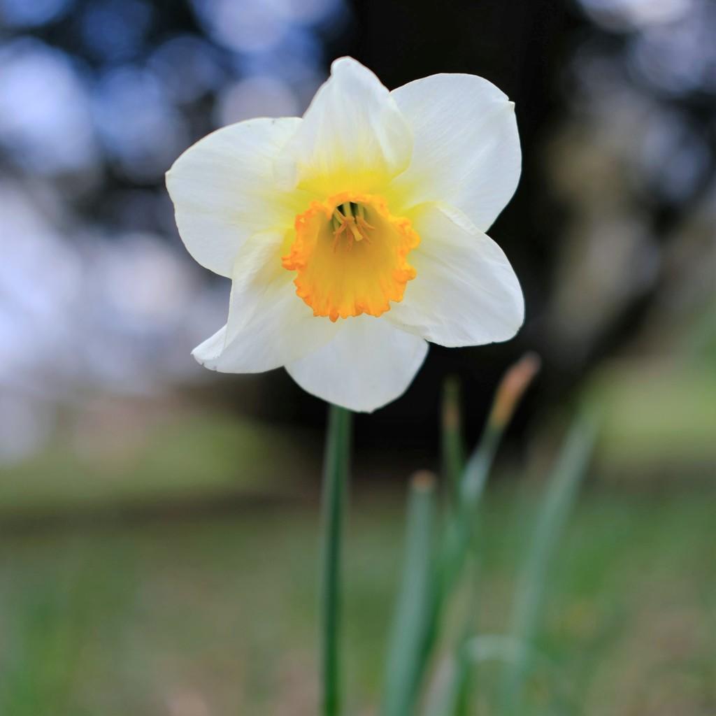 Daffodil 15 by 4rky