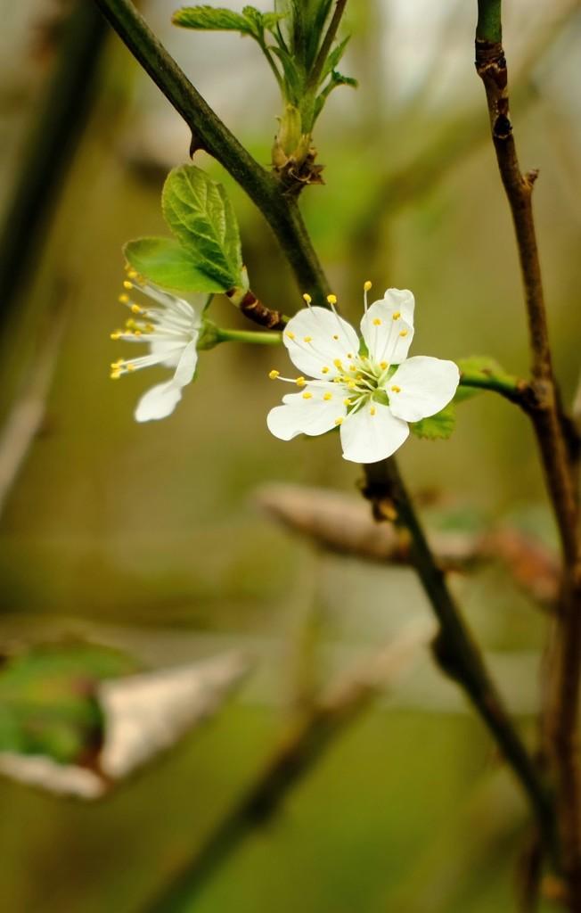 Blossom by 4rky