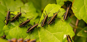 18th Apr 2021 - The Grasshoppers are Here!
