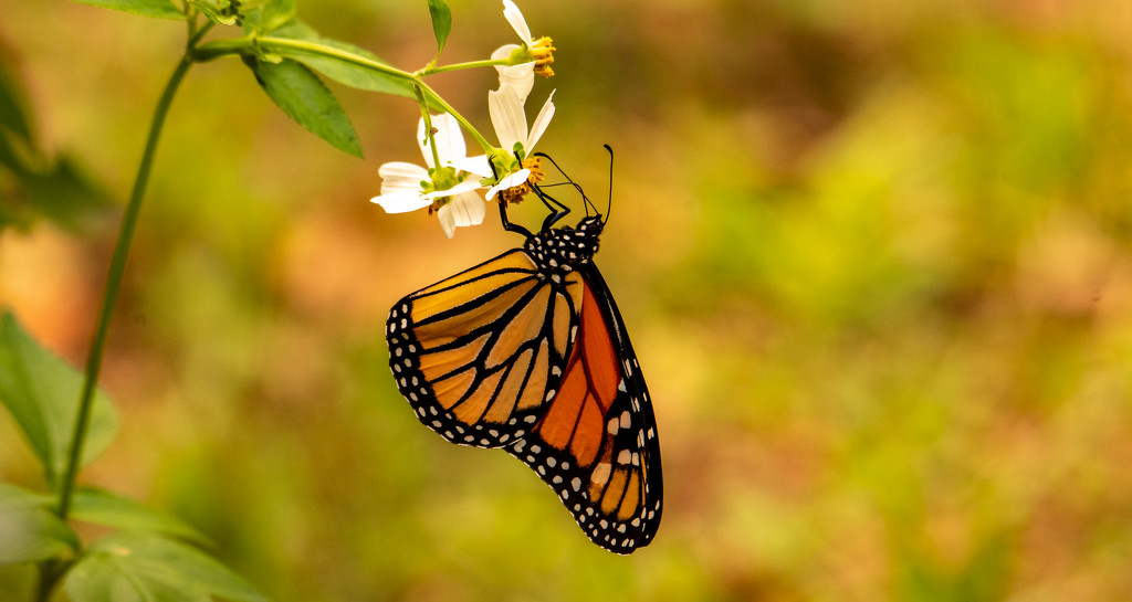 My First Monarch Butterfly for this Year! by rickster549