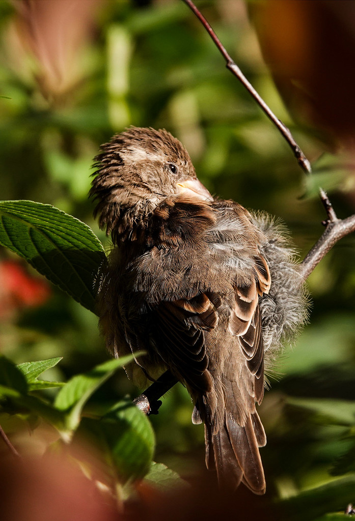 Young sparrow preening by maureenpp