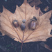 Oak leaf with three acorns