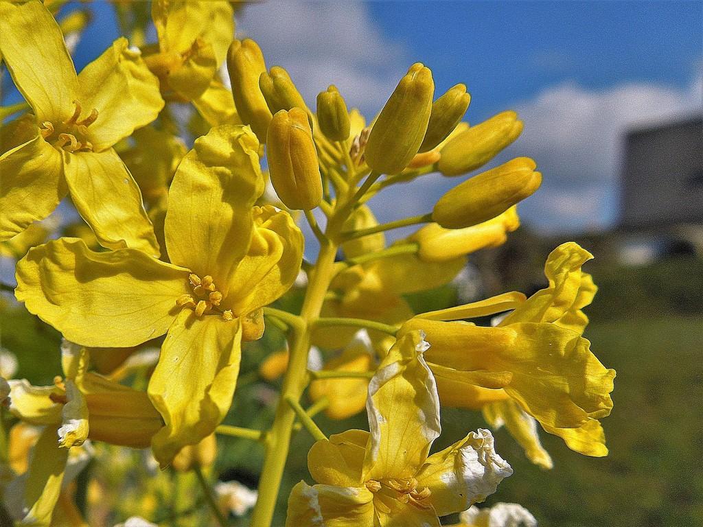 Kale flower by etienne