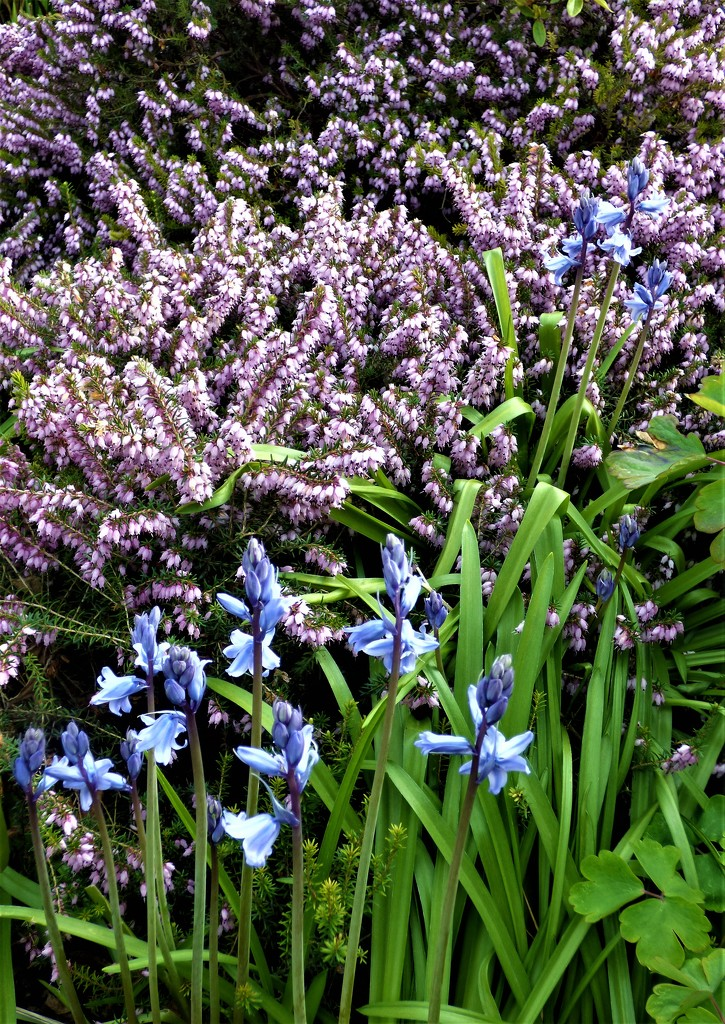 Flowering heather and bluebells-- by beryl