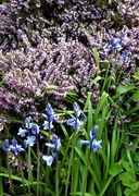 19th Apr 2021 - Flowering heather and bluebells--