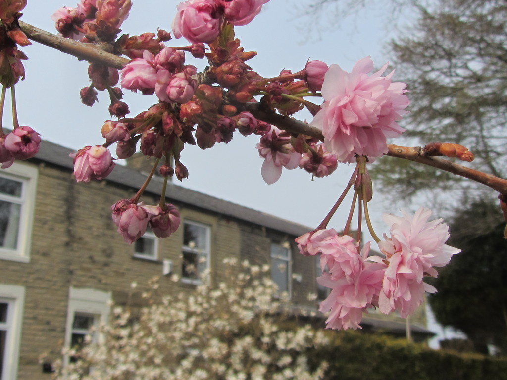 Terraced houses, white Stellata, and pink blossoms. by grace55