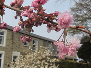 19th Apr 2021 - Terraced houses, white Stellata, and pink blossoms.