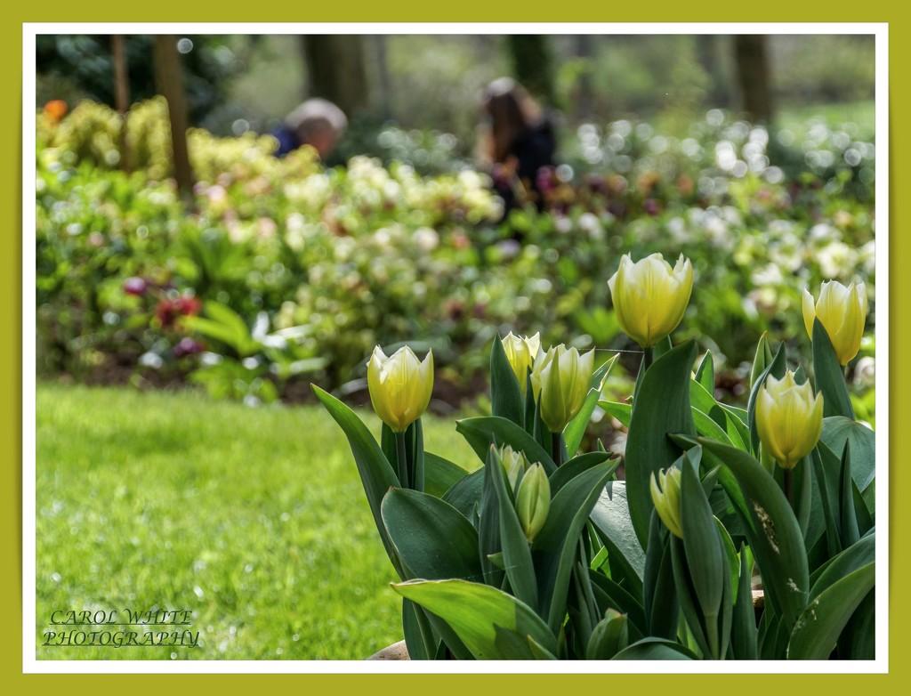 Tuliptime by carolmw