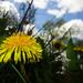 Hello little dandelion