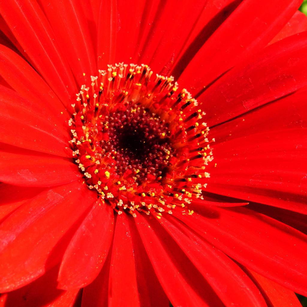 Shasta Daisy by milaniet