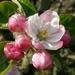 Apple blossom....