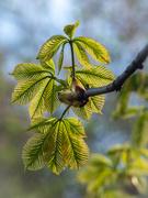 19th Apr 2021 - Fresh chestnut leaves