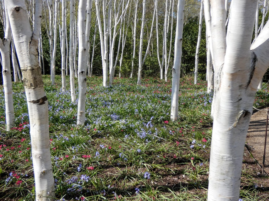 Amongst the Birches by foxes37