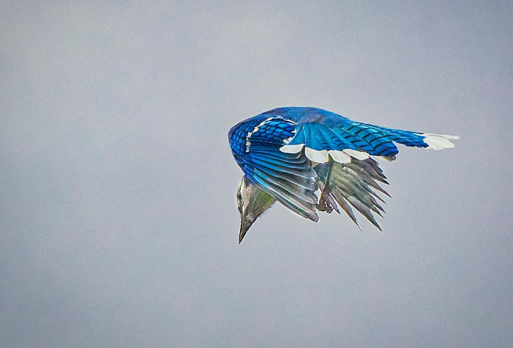 Bluejay Dive by gardencat