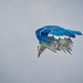 Bluejay Dive by gardencat