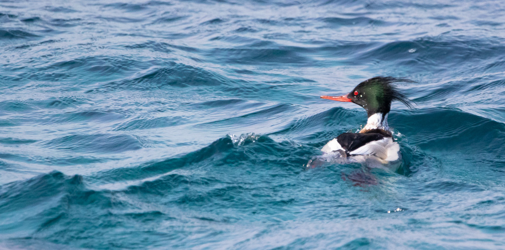 Red-breasted Merganser by lifeat60degrees