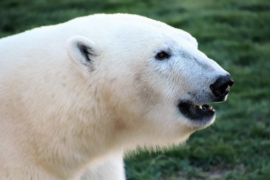 Polar Bear Profile by randy23