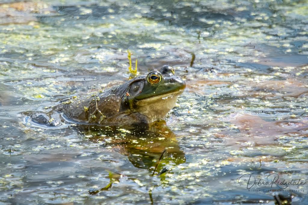 American Bullfrog  by dridsdale