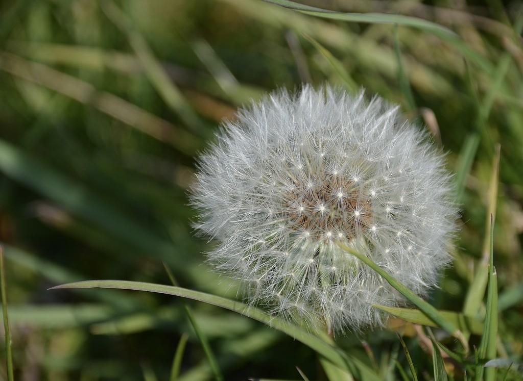 Dandelion  by wakelys