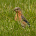 eastern bluebird in the grass