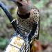 Another Northern Flicker came for suet.....