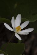 19th Apr 2021 - Bloodroot Flower