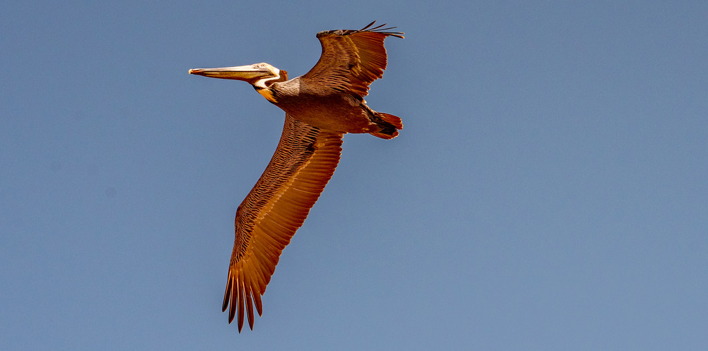 Pelican Fly-over! by rickster549